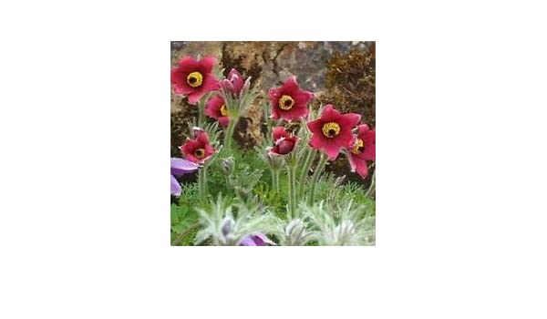BOGO 50/% off SALE Red Pasque Flower 25 Seeds Anemone Pulsatilla Vulgaris