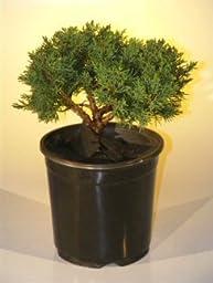 Bonsai Boy\'s Pre Bonsai Shimpaku Bonsai Tree Bonsai Tree - Medium shimpaku itoigawa