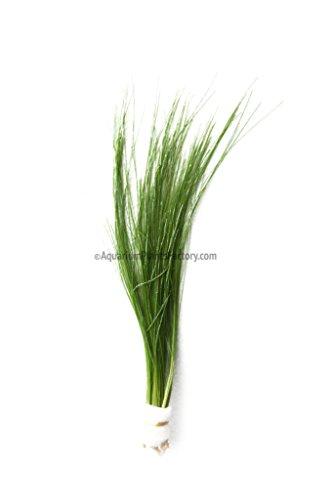 how to grow aquatic hairgrass