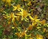 David's Garden Seeds Herb Wort St. Johns SL4587 (Yellow) 500 Non-GMO, Heirloom Seeds