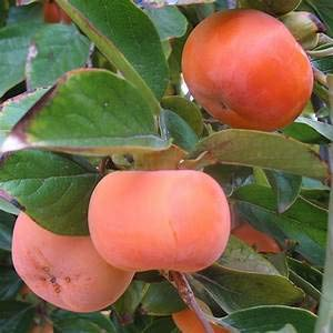 (20pcs Persimmon Fruit Tree Seeds Bonsai Dwarf Rare Plants Garden Home Decor Pot)