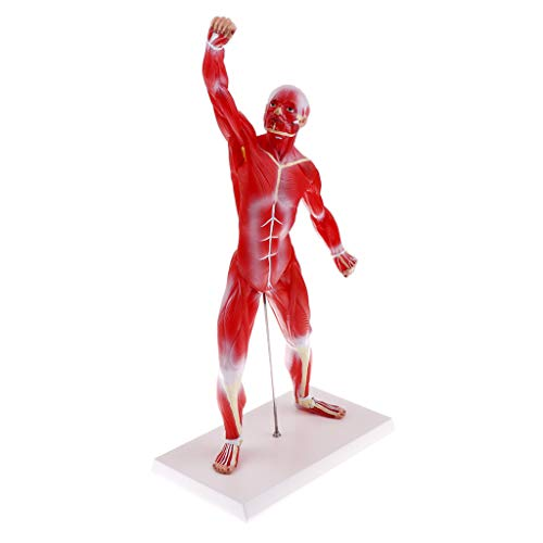 Flameer Human Muscular Figure Model Anatomy Anatomical Traumatic Medical Instruments