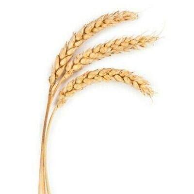 Wheat Germ Oil, Food Grade 7 pounds in Gallon Container : Garden & Outdoor