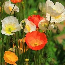 California Poppy 125 Seeds Ballerina Mix Eschscholzia Native Drought Tolerant US -
