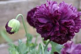 (100 Seeds Purple Peony Poppy Easy Planting)