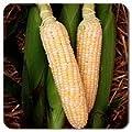Bulk Organic Corn Seeds - Bilicious Non GMO