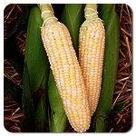 bulk corn seed - Dirt Goddess Super Seeds Bulk Organic Corn Seeds - Bilicious NON GMO (1/4 Lb)