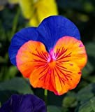 Saavyseeds Sunburst Pansy Seeds - 35 Count