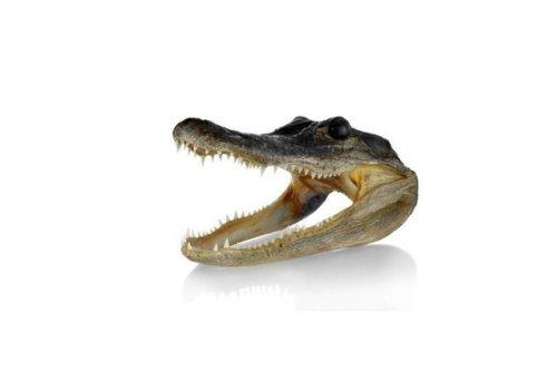Alligator Meat - Newport Jerky Company Genuine Taxidermy American Alligator Head (5-6 Inch)