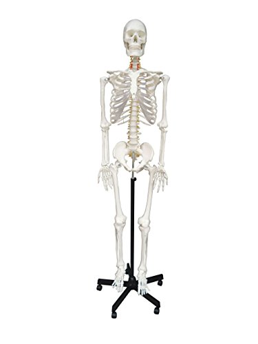 Wellden Medical Anatomical Human Skeleton Model, 170cm, Life Size, w/Nerves, Vertebral Arteries, Stand Included by Wellden