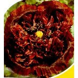 Black Turkish Somniferum Poppy 200 Seeds - Papaver