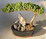 Bonsai Boy's Juniper Bonsai Tree - Large Stone Landscape Scene juniper procumbens nana