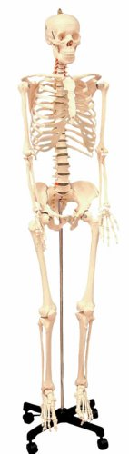 Walter Products Life Size Human Skeleton Model on a Stand