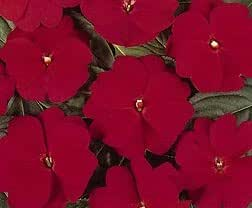 Impatiens New Guinea Divine Red (Cherry) 100 seeds