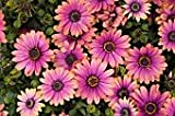 20+ Pink Osteospermum Flower Seeds / Half-hardy Perennial
