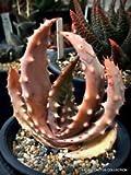 Rare Aloe ACULEATA V CROUSIANA Exotic Succulent Agave Hardy Plant Seed 100 Seeds