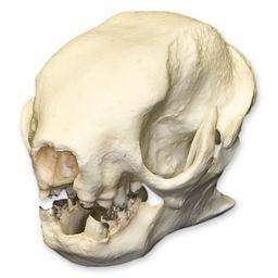 Three-toed Sloth Skull (Teaching Quality Replica)