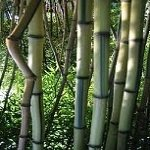 Box of 10 Phyllostachys Aureosulcata 'Alata', Green Crookstem Live Bamboo Plants. by Maya Gardens, Inc.