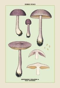 Edible Fungi: Violet Cortinarius