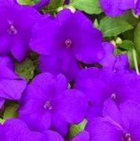 Impatiens / Busy Lizzy - Xtreme Violet - 25 Seeds NutsnCones