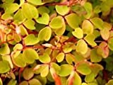 "Velvet Sunset Shamrock - Oxalis - 2.5"" Pot - Fairy Garden Plant or House Plant"