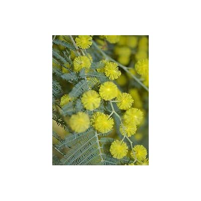 Cheap Fresh Exotic Seeds Acacia Baileyana Hardy Acacia Get 5 Seeds Easy Grow #GRG01YN : Garden & Outdoor