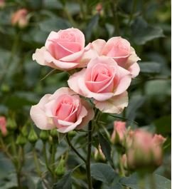 120 Real Fresh Spray Rose Ilse by FarmDirect
