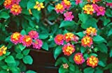 "Lantana ""Confetti""; Flowering Plant Bush, LIVE POTTED,"