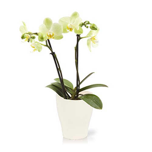 """Color Orchids Live Blooming Double Stem Phalaenopsis Orchid Plant in Ceramic Pot, 15""""-20"""" Tall, Yellow Blooms"""