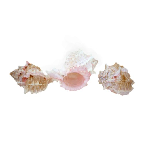 US Shell, 6 Piece, Pink Murex Sea Shell