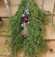 Sweet Annie Seeds - David's Garden 500 Organic Seeds