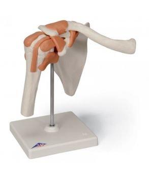 [해외]기능성 숄더 조인트 모델 (오른쪽) / Functional Shoulder Joint Model (Right)