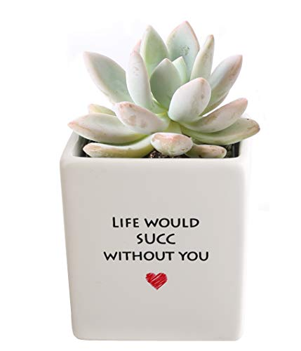 Costa Farms Live Mini Succulent Echeveria Indoor Plant Grower's Choice, Rosette, Gift, 4-Inches Tall