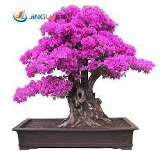 50 Seeds /Pac Ktop Selling Colorful Bougainvillea Spectabilis Willd Seeds Bonsai Plant Flower Seeds Perennial Bougainvillea Seed Bougainvillea Bonsai