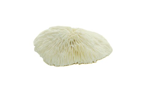 Nautical Crush Trading White Real Mushroom Coral Piece | 3''-4'' | Aquarium Ornament for Decoration | Live Mushroom Sea Coral TM| Plus Free Nautical Ebook by Joseph Rains by Nautical Crush Trading (Image #3)