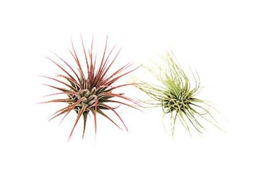 Bulk 50 Air Plants Variety Pack (25 Ionantha, 25 Fuchsii) / Wholesale by AchmadAnam (Image #2)