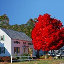 Autumn Blaze® Red Maple Tree