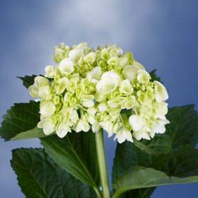 GlobalRose 10 Fresh Cut Green Mini Hydrangeas - Fresh Flowers For Weddings or Anniversary. by GlobalRose (Image #6)