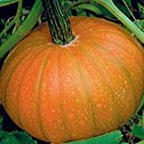 Small Sweet Sugar Pie Pumpkin - 50 Seeds - BONUS PACK!