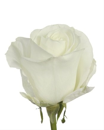 Fresh White Roses | 50 cm. long (20'') 50/100/200 (50)