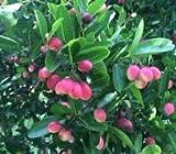 Karonda Seeds (Carissa carandas)