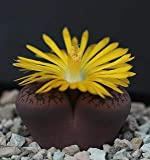 HistoricalFindings Photo: Lithops aucampiae 3