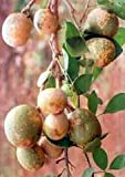 *RARE*AEGLE marmelos Tree*Bael Fruit*5 SEEDS*Aromatic*Fragrant*medicinal*#1138-A