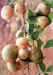 *RARE*AEGLE marmelos Tree*Bael Fruit*5 SEEDS*Aromatic*Fragrant*medicinal*#1138-A