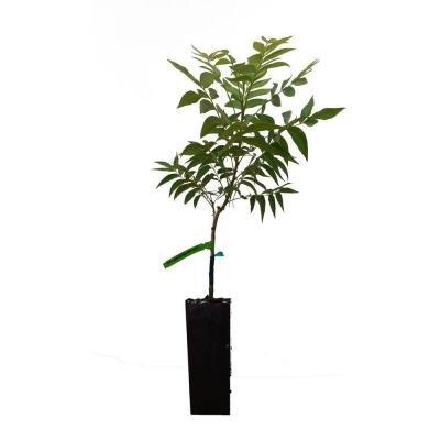 stuart-pecan-tree-type-2-pollinator-size-potted-4x4x10