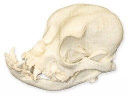 English Bulldog Skull (Female) (Teaching Quality ()
