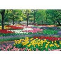 300ピース チューリップの郷 昭和記念公園(東京) 03-723