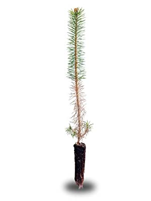 Scotch Pine Small