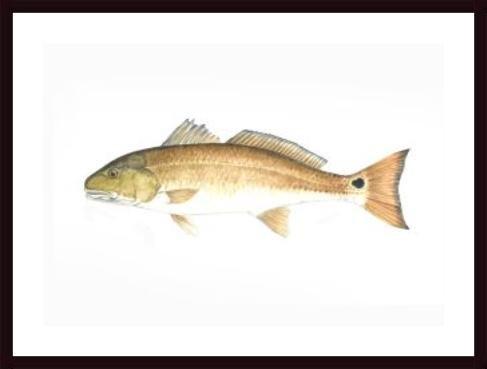 Redfish, framed black wood, white matte (Redfish Framed)