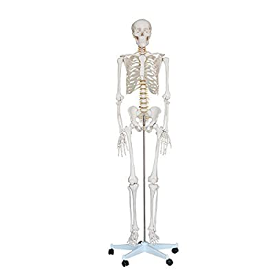 """Mr. Hanks"" Human Anatomy Skeleton Life Full Size Model 6 ft. tall with Stand / 5 ft 5 inches tall without stand. Perfect for students, teachers, educators, classroom, and occasionally for Halloween use. All parts a"